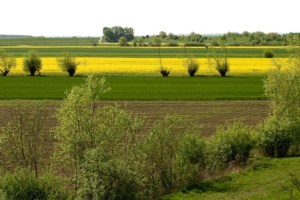 Zdjęcie ukazujące rolniczy krajobraz na równinach Żuław Wiślanych. Na zdjęciu widoczne zielone iżółte pola oraz nieliczne drzewa śródpolne.