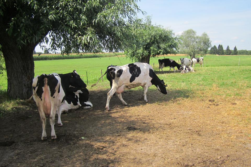 Druga fotografia prezentuje stado biało-czarnych krów pasących się na łące.
