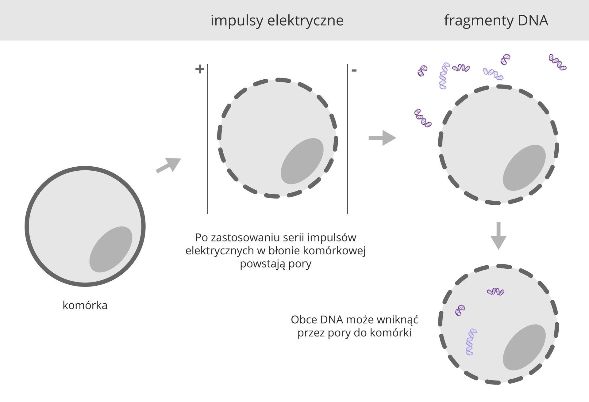 Ilustracja przestawia cztery schematyczne komórki wformie szarego koła zciemniejszym jądrem. Błona komórkowa też jest ciemno szara. Pierwsza komórka ma całą błonę komórkową. Strzałka wskazuje umieszczenie komórki między dwoma liniami – elektrodami. Impulsy elektryczne spowodowały przerwanie błony komórkowej wwielu miejscach. Kolejny rysunek za strzałką przedstawia komórkę zporami wbłonie wotoczeniu kolorowych nici DNA. Ostatni rysunek przedstawia komórkę, do wnętrza której przez pory wbłonie wniknęło obce DNA.i