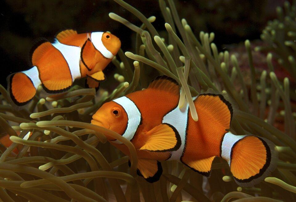 Fotografia przedstawia 2 pomarańczowo-białe rybki wsród ramion parzydełkowca.