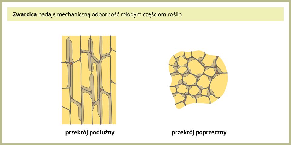 Ilustracja przedstawia dwa żółte rysunki spod mikroskopu, obrazujące przekrój podłużny ipoprzeczny przez zwarcicę. Komórki tej tkanki mają częściowo pogrubione ściany komórkowe, co zaznaczono kolorem szarym.