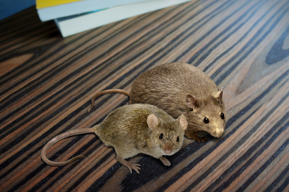 Fotografia przedstawia dwie myszy, siedzące na stole. Jedna jest mniejsza ipatrzy wstronę obserwatora. Obok siedzi druga, większa igrubsza. Została zmodyfikowana genetycznie do badań nad otyłością.