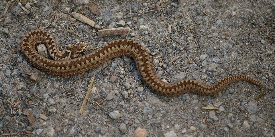 Zdjęcie przedstawia żmiję zygzakowatą. Zdjęcie zrobione zgóry. Wąż jest szary zczarnym zygzakowatym wzorem biegnącym przez całe ciało. Między głową aresztą ciała zwierzęcia widać przewężenie.