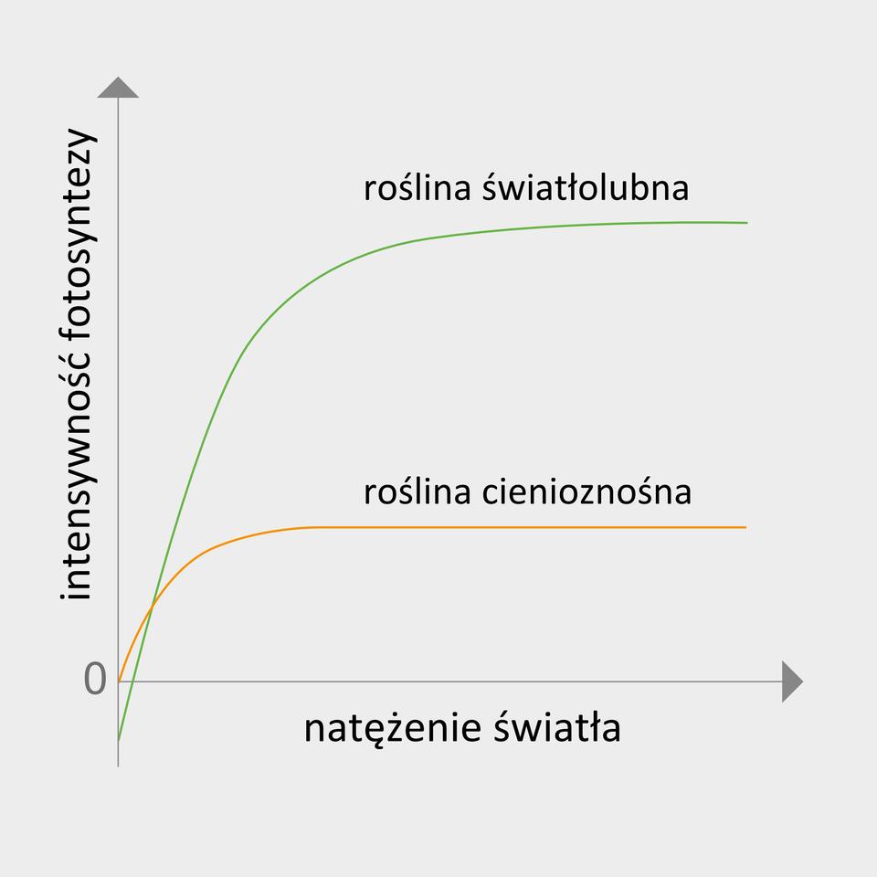 Ilustracja przedstawia wykres, na którym oś Xpodpisano jako natężenie światła, aoś Yjako intensywność fotosyntezy. Znajdują się tu dwie linie, które się częściowo krzyżują. Zielona linia oznacza roślinę światłolubną , apomarańczowa linia oznacza roślinę cienioznośną. Obie linie wznoszą się, ale zielona znajduje się wyżej niż pomarańczowa.
