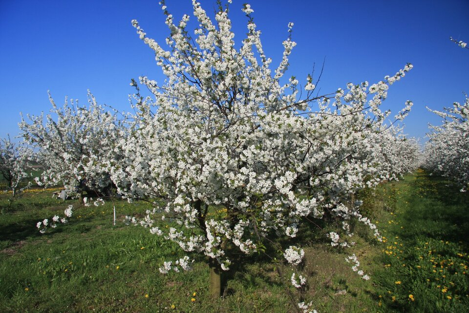 Na zdjęciu sad, kwitnące drzewa owocowe.