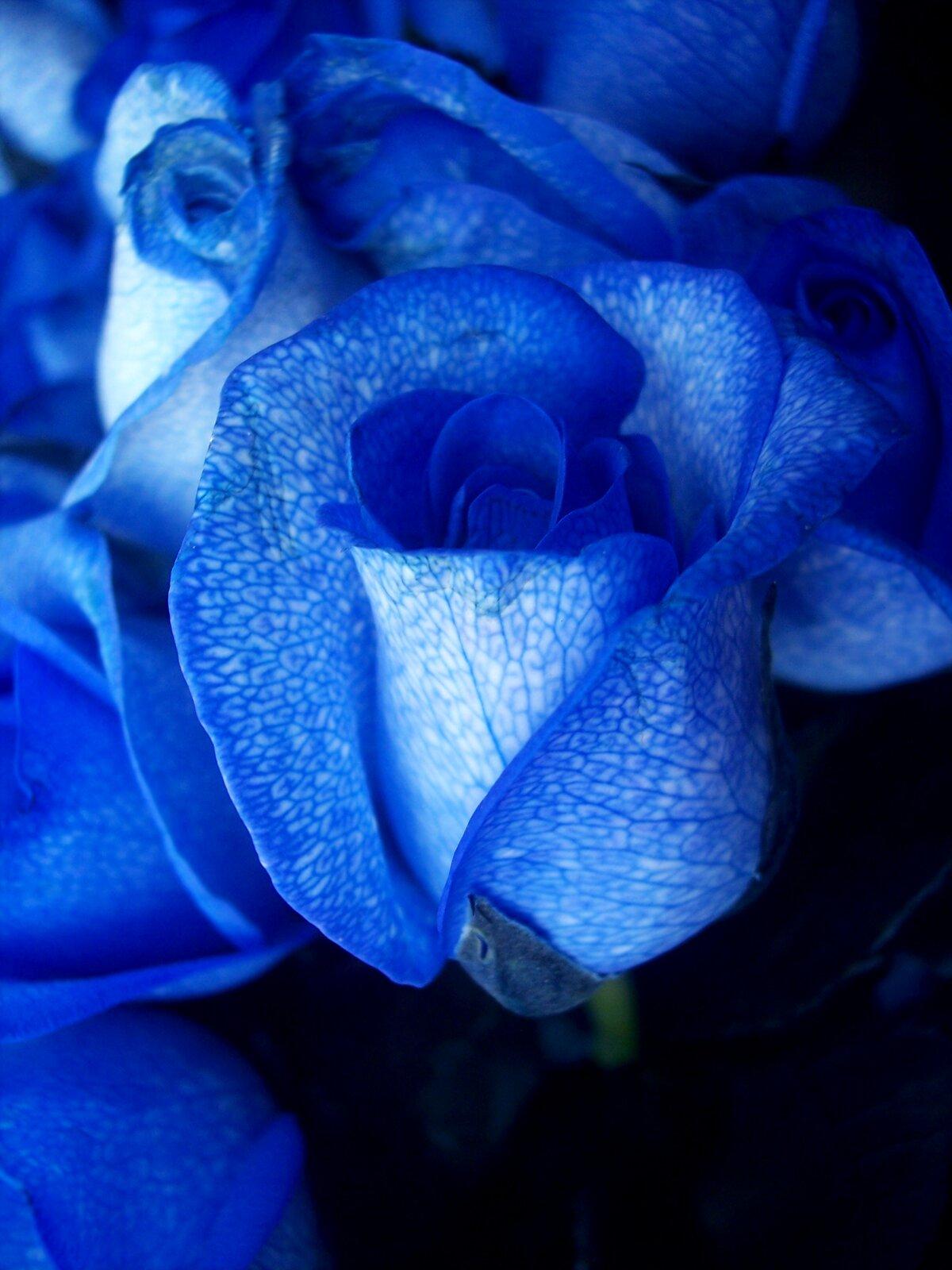 Fotografia przedstawia zbliżenie kilku kwiatów róży ointensywnie niebieskim kolorze. Do jej komórek wprowadzono gen odpowiedzialny za produkcję substancji, nadającej płatkom niebieską barwę.