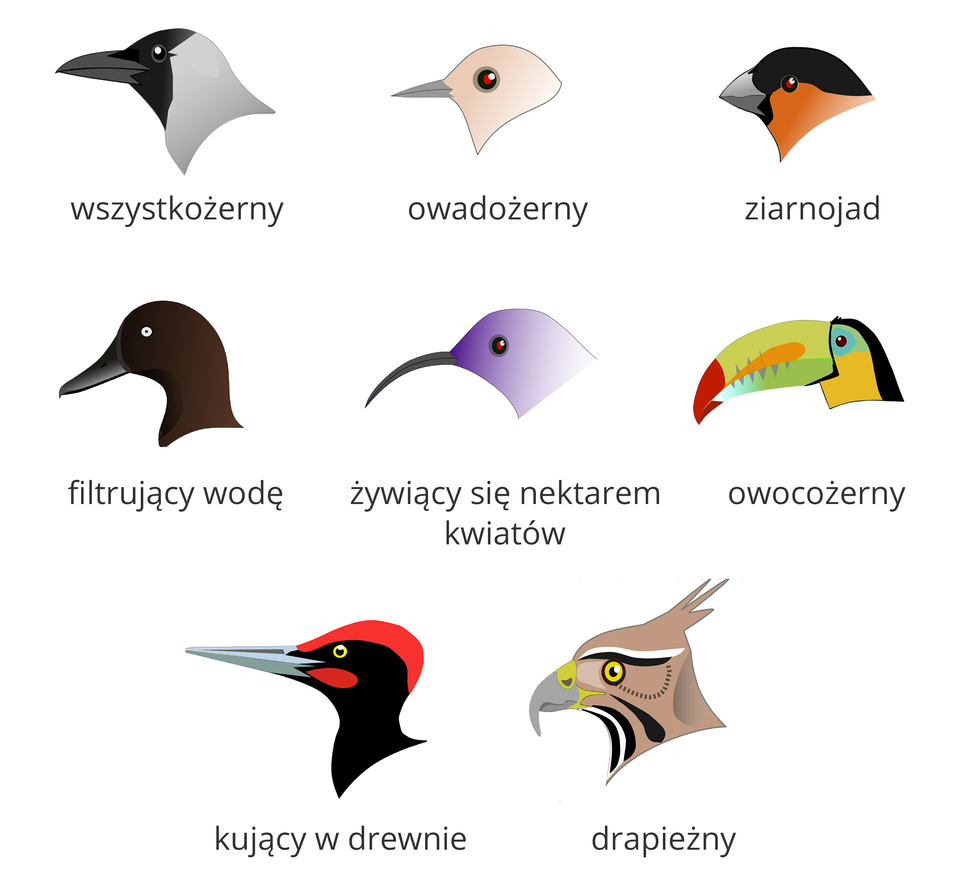 Ilustracja przedstawia osiem kolorowych sylwetek ptasich głów wtrzech rzędach, zdziobami wlewo. Od góry zlewej ptak wszystkożerny. Ma długi, prosty, gruby dziób. Głowa podzielona pionowo: zprzodu czarna, dalej szarawa. Oko czarne, błyszczące. Drugi ptak wgórnym rzędzie to ptak owadożerny. Głowa różowa, dziób delikatny, prosty, zaostrzony. Oko zczerwonym refleksem wszarej obwódce. Zprawej ugóry ziarnojad. Dziób krótki, bardzo gruby. Głowa podzielona poziomo: ugóry czarna, niżej pomarańczowa. Na granicy podziału małe, czerwone oko. Wśrodkowym rzędzie pierwszy zlewej to ptak, filtrujący wodę. Dziób wydłużony, spłaszczony, na końcu mały haczyk. Głowa ciemnobrązowa, oko białe. Wśrodku na fioletowo namalowany ptak, żywiący się nektarem kwiatów. Dziób wąski, długi, łukowato wygięty zkońcem wdół. Zprawej ptak owocożerny. Oliwkowy dziób bardzo gruby, długi, lekko zgięty na końcu obarwie brunatnej. Wśrodkowej części dziób błękitny, przechodzi wpomarańcz. Głowa żółto – czarna wpionie, ugóry błękitna zczarnym okiem. Od lewej wdolnym rzędzie ptak, kłujący wdrewnie. Dziób stalowoszary, długi, prosty, zaostrzony. Głowa czarna zczerwoną czapeczką ipoliczkiem. Oko zżółtą obwódką. Ostatni zprawej to ptak drapieżny. Dziób gruby, zostrym, haczykowatym końcem, żółty unasady. Głowa zczubkiem wtył, beżowa wczarne ibiałe smugi. Oko żółte.