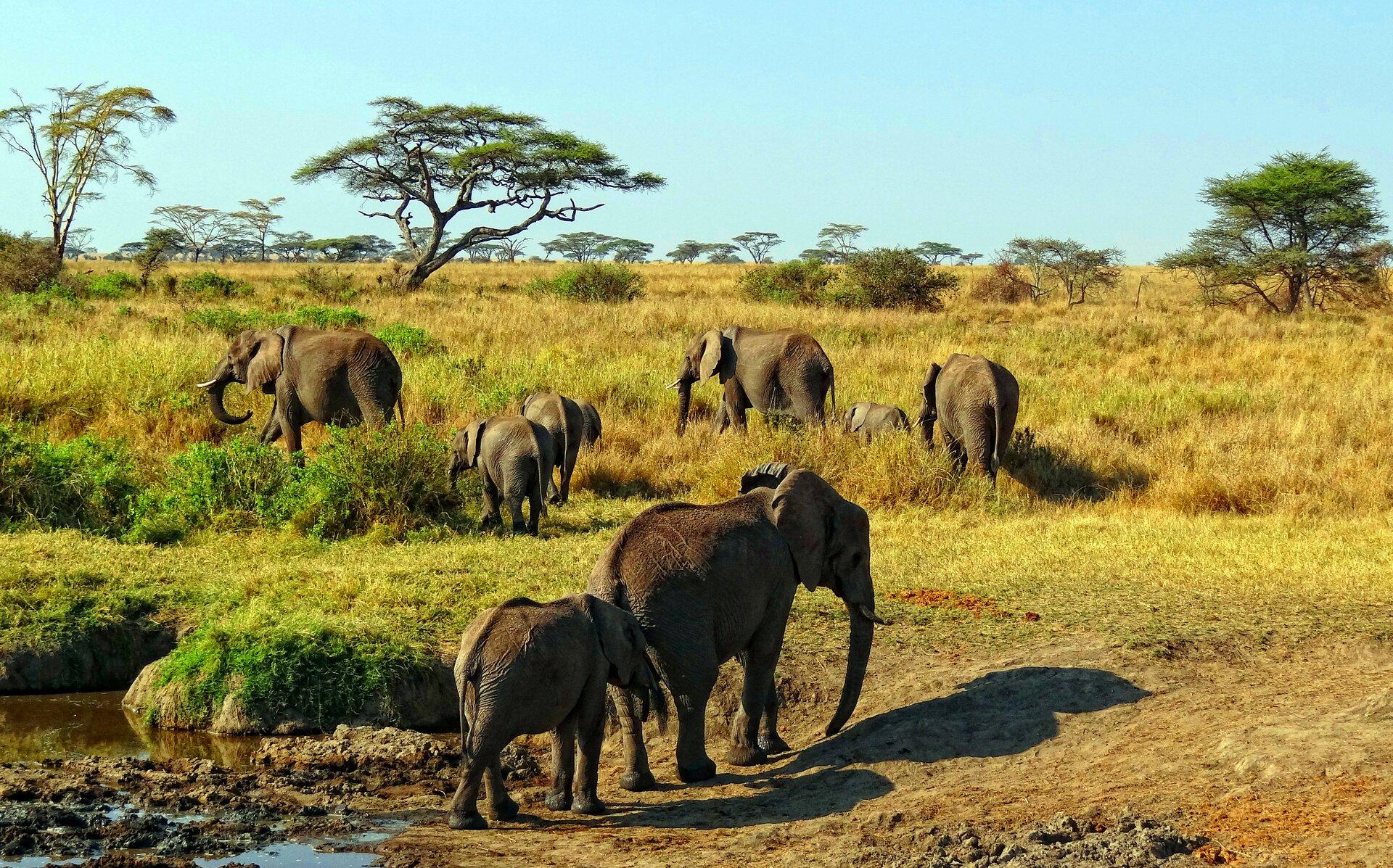 Teren pokryty trawą. Na pierwszym planie osiem słoni idących od błotnistego wodopoju wkierunku drzew akacji. Wtle wiele drzew akacji. Błękitne bezchmurne niebo.