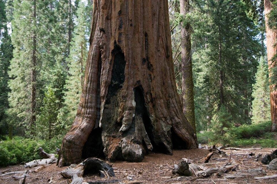 Na zdjęciu pień bardzo wysokiego drzewa, wtle drzewa normalnej wysokości, wyglądające przy nim jak niewielkie rośliny.