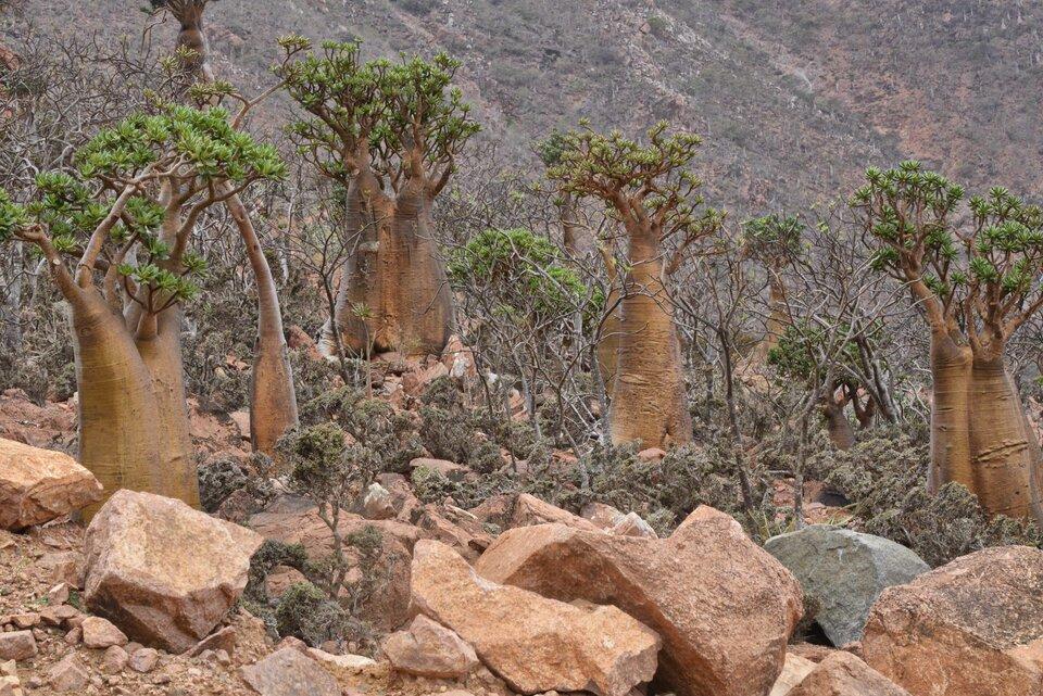Fotografia przestawia skaliste zbocze, na którym rośnie kilka drzew. Drzewa mają bardzo grube pnie, zktórych wyrasta kilka dość cienkich gałązek pokrytych kępami lisci.