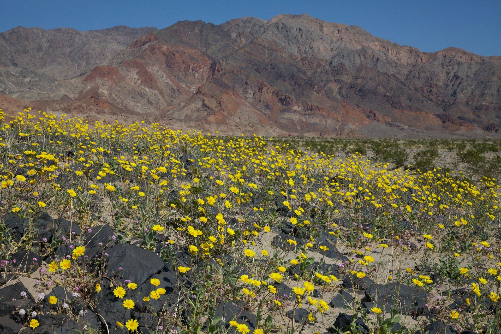 Fotografia przedstawia krajobraz afrykańskiej pustyni wporze deszczowej. Płaski, piaszczysty teren jest gęsto pokryty kwitnącymi, niskimi roślinami. Kwiaty są białe iżółte. Liście roślin są szare izielone. Wtle łańcuch gór.