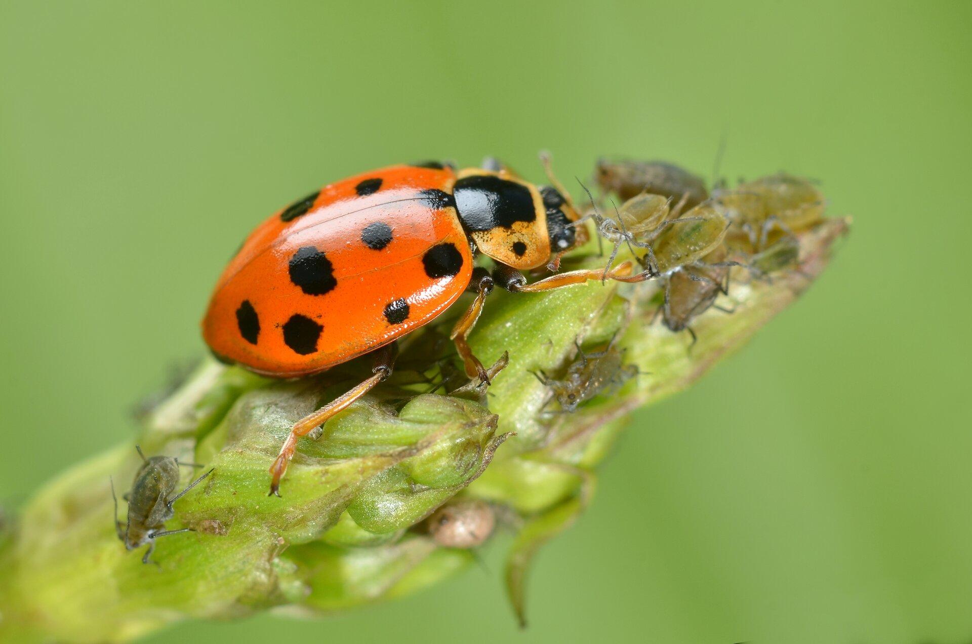 Fotografia przedstawia pomarańczową biedronkę wdużym zbliżeniu. Ten drapieżny owad siedzi na zielonym pąku rośliny, atakuje izjada małe, szare mszyce.