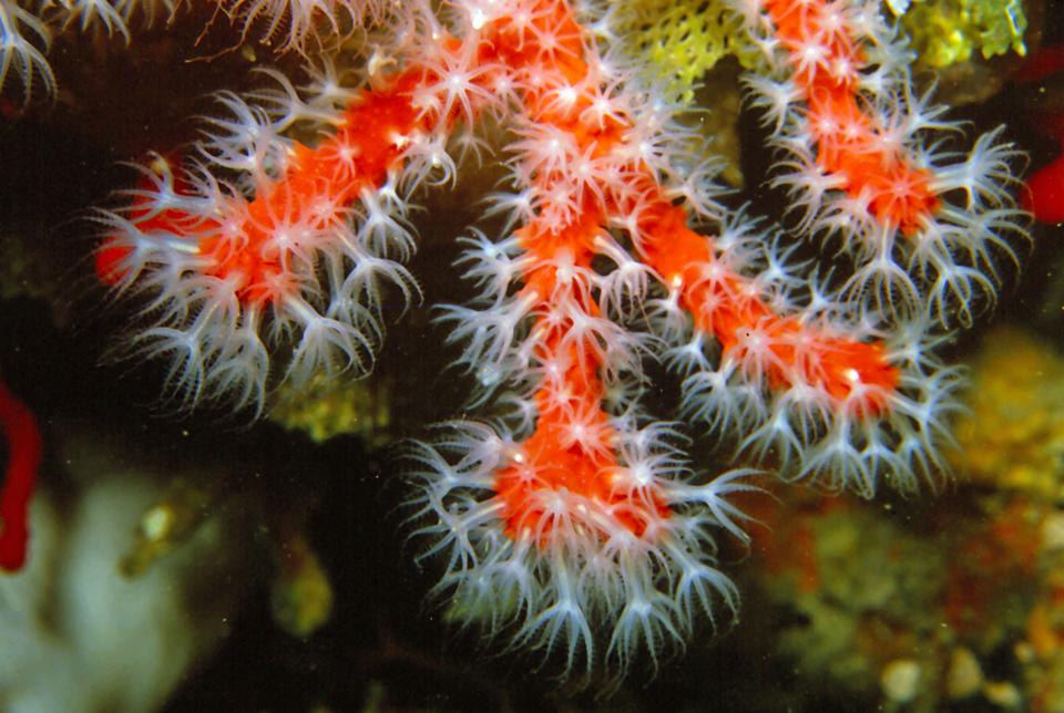 Wgalerii znajdują się fotografie przedstawiające bogactwo życia na rafie koralowej. Fotografia przedstawia czerwonego, rurkowatego koralowca szlachetnego. Na nim znajduje się wiele wystających, białych polipów.