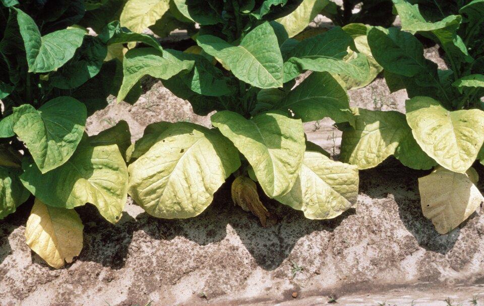 Fotografia przedstawia zbliżenie liści rośliny, rosnącej na kamieniu. Są one drobne, jasnozielone, aniektóre więdną izasychają. To skutki niedoboru azotu.