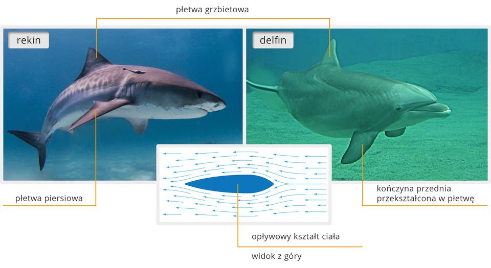 Ilustracja zwaiera porównanie sylwetek rekina idelfina. Wskazano na nich cechy opływowego kształtu ciała.