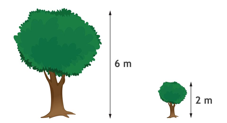 Rysunek dwóch drzew. Wyższe ma 6 metrów wysokości, niższe 2 metry.