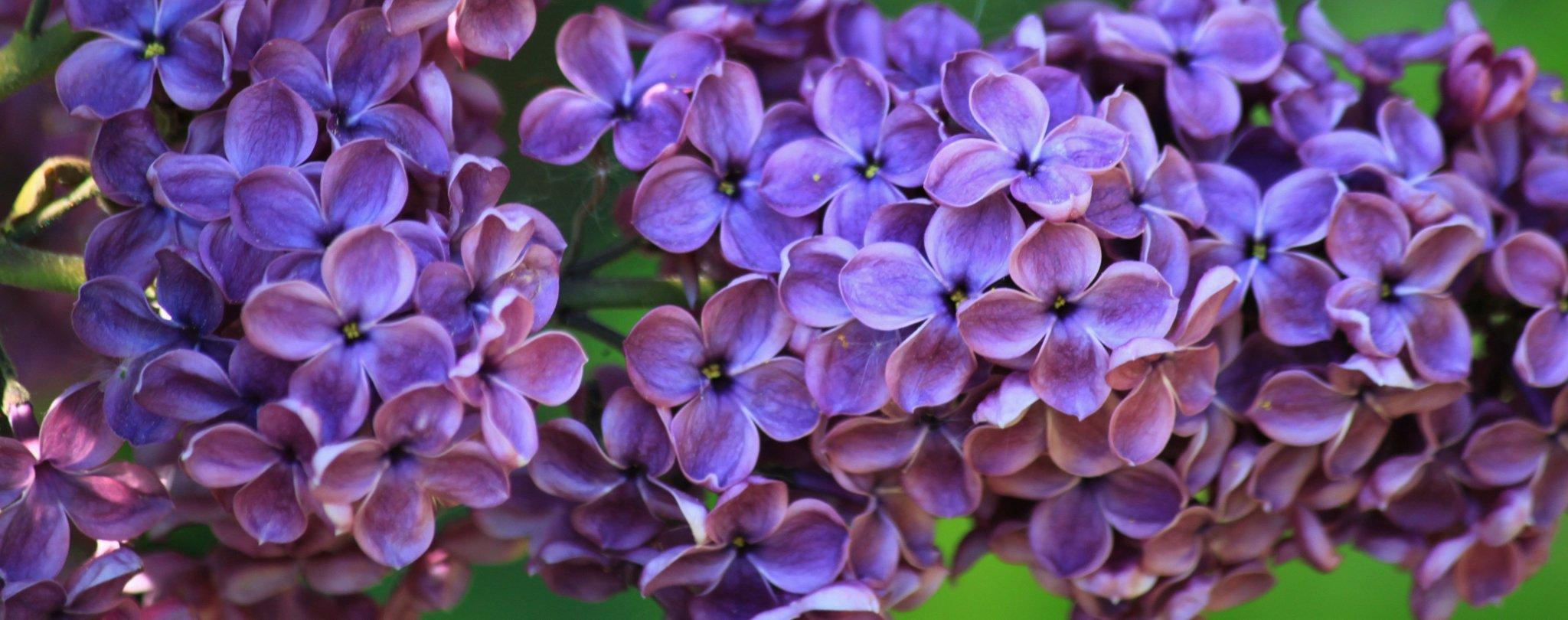 Kwiat bzu Kwiat bzu Źródło: licencja: CC 0.