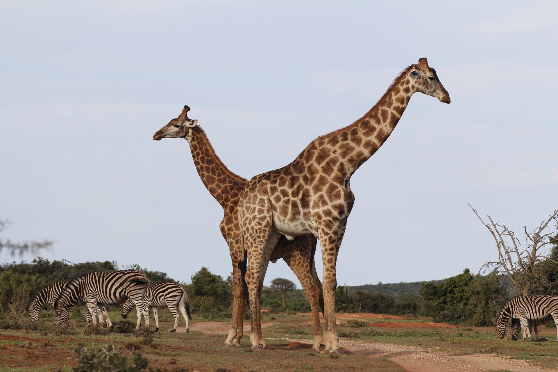 Ilustracja przedstawia dwie żyrafy stojące obok siebie. Zprawej ilewej strony stoją pasiaste zebry.
