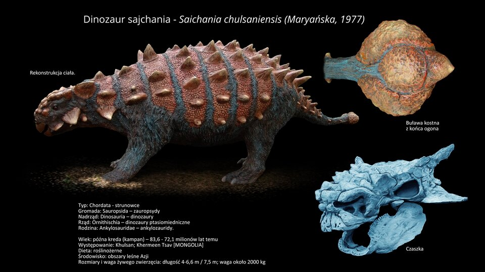 Na ilustracji model dinozaura Saichania. Dinozaur długości od czterech do siedmiu metrów. Na grzbiecie brązowy. Pod spodem szary. Na grzbiecie ma kostny pancerz, ana ogonie – ciężką, kostną buławę. Zprawej strony powiększony model kostnej buławy imodel czaszki.