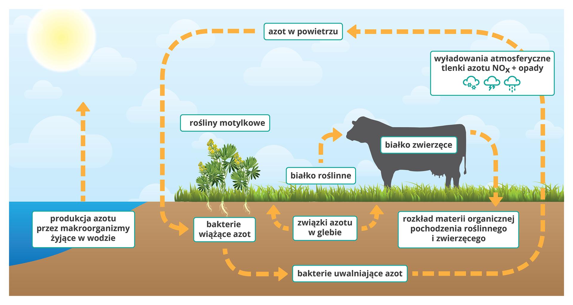 Plansza przedstawia schematyczny rysunek obiegu azotu wprzyrodzie na przykładzie wycinku krajobrazu. Zlewej strony rysunku zbiornik wodny isłońce na niebie. Zprawej teren pokryty roślinnością, sylwetka krowy iniebo zchmurami. Zaznaczone są obiegi: zwody do powietrza (produkcja azotu przez makroorganizmy żyjące wwodzie), pomiędzy glebą apowietrzem (azot wpowietrzu wiązany wglebie przez bakterie, następnie uwalniany przez inne bakterie). Wpowietrzu zaznaczono rolę wyładowań atmosferycznych oraz łączenia się tlenków azotu zopadami deszczu iśniegu. Roślina wcentralnej części kadru podpisana Rośliny motylkowe, jej korzenie stykają się zpodpisem Bakterie wiążące azot. Prostokąt ztekstem Związki azotu wglebie połączony strzałkami ztrawą. Nad trawą podpis Białko roślinne ze strzałką prowadzącą do sylwetki krowy ipodpisem Białko zwierzęce. Od strony krowiego zadu strzałka do ziemi zpodpisem Rozkład materii organicznej pochodzenia roślinnego izwierzęcego.