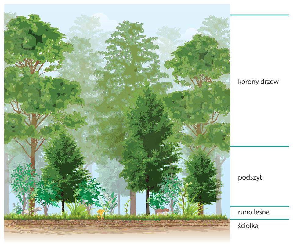 Ilustracja przedstawia schemat pięter roślinnych wlesie. Od lewej rysunek wysokiego drzewa zbrązowym pniem ijasnozieloną koroną. Poniżej krzew wwarstwie podszytu. Po prawej niskie rośliny zfioletowymi kwiatami wwarstwie runa. Wszystkie te rośliny wyrastają zjasnobrązowego paska, czyli ściółki. Niżej jest brunatny pasek, symbolizujący glebę.
