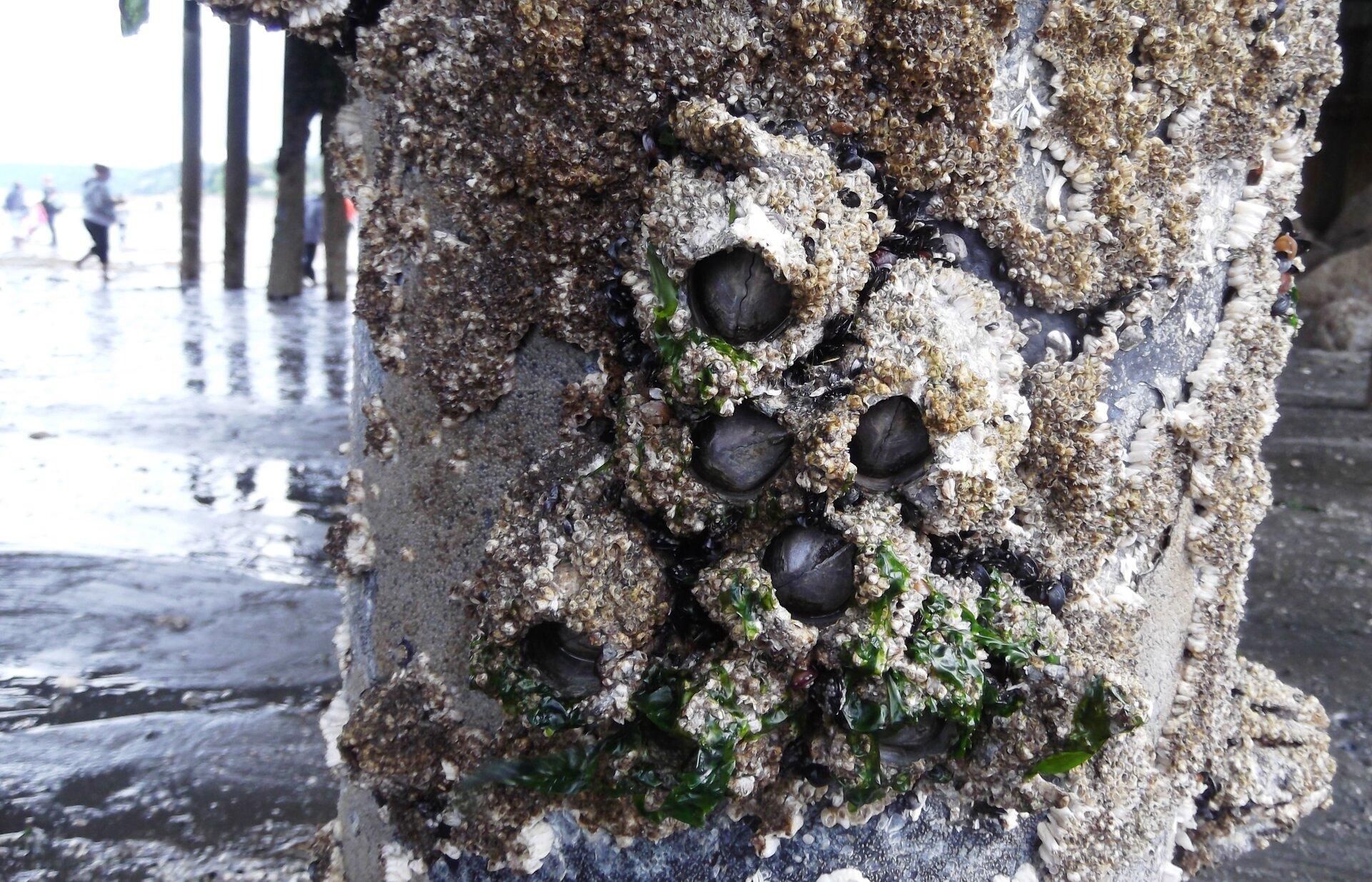 Wgalerii znajdują się fotografie przedstawicieli skorupiaków. Fotografia przedstawia zbliżenie słupa morskiego molo wtonacji szarej. Do słupa przyrośnięte, wystające czarne pąkle otoczone chropowatą skorupą. Na niej pojedyncze kawałki zielonych glonów.