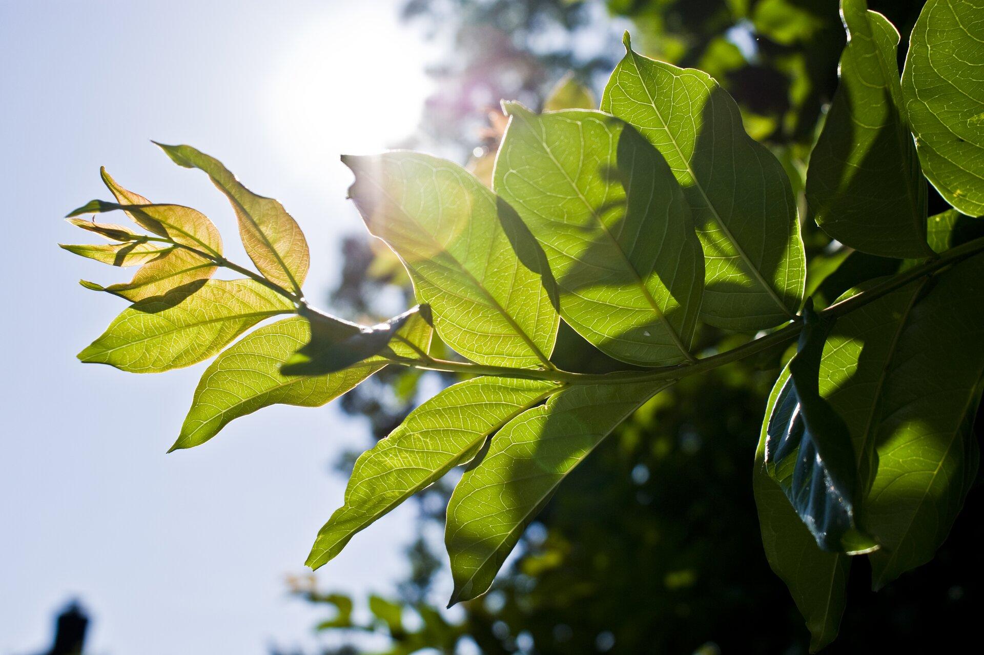 Zdjęcie przedstawia gałązkę drzewa gęsto usianą zielonymi liśćmi obserwowaną pod słońce.