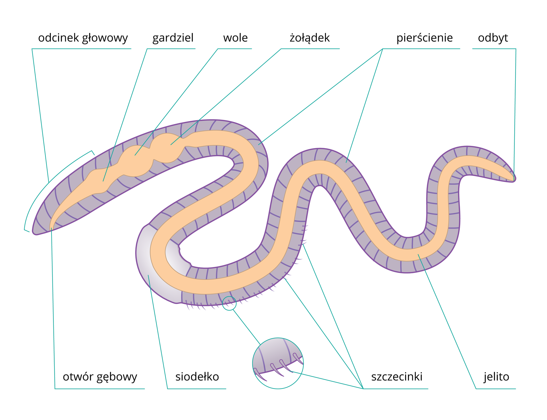 Ilustracja przedstawia schematycznie budowę dżdżownicy. Ciało ma kolor fioletowy, wnim wrysowano pomarańczowy układ pokarmowy. Części ciała są opisane. Małe kółko udołu przedstawia powiększenie części segmentu ze szczecinkami.