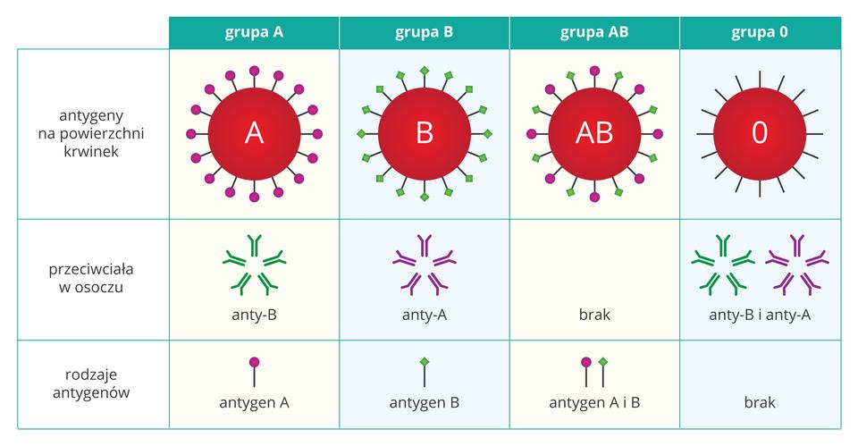 Ilustracja przedstawia tabelę grup krwi. Wpierwszym rzędzie ukazano cztery czerwone kółka zliterą grupy krwi. Zpierwszego wystają różowe kulki, symbolizujące antygeny powierzchniowe grupy A. zdrugiego wystają zielone romby, symbolizujące antygeny powierzchniowe grupy B. Ztrzeciego (grupa AB) wystają oba rodzaje antygenów, azczwartego żaden (grupa zero). Wśrodkowym rzędzie przedstawiono przeciwciała wosoczu: anty –B, anty – A, brak, oba rodzaje przeciwciał. Dolny rząd przedstawia pojedyncze antygeny.
