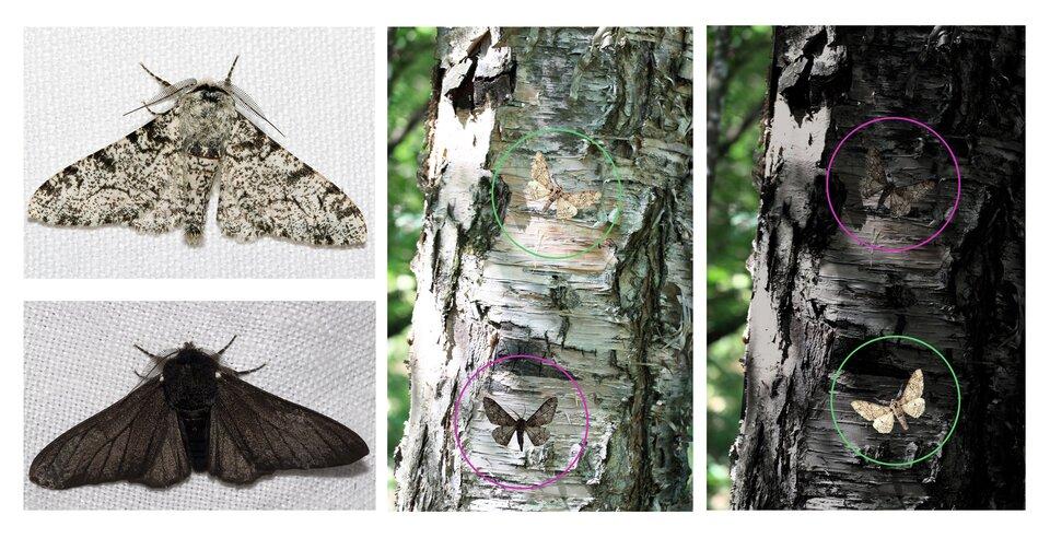 Fotografie przedstawiają dwa motyle nocne krępaki brzozowe, jaśniejszego iciemniejszego. Zprawej dwie fotografie pni brzóz, jaśniejszego iciemniejszego. Nałożono na nie fotografie motyli. Różowe izielone okręgi wskazują położenie motyli, gdyż można ich nie zauważyć tak stapiają się zbarwą kory.