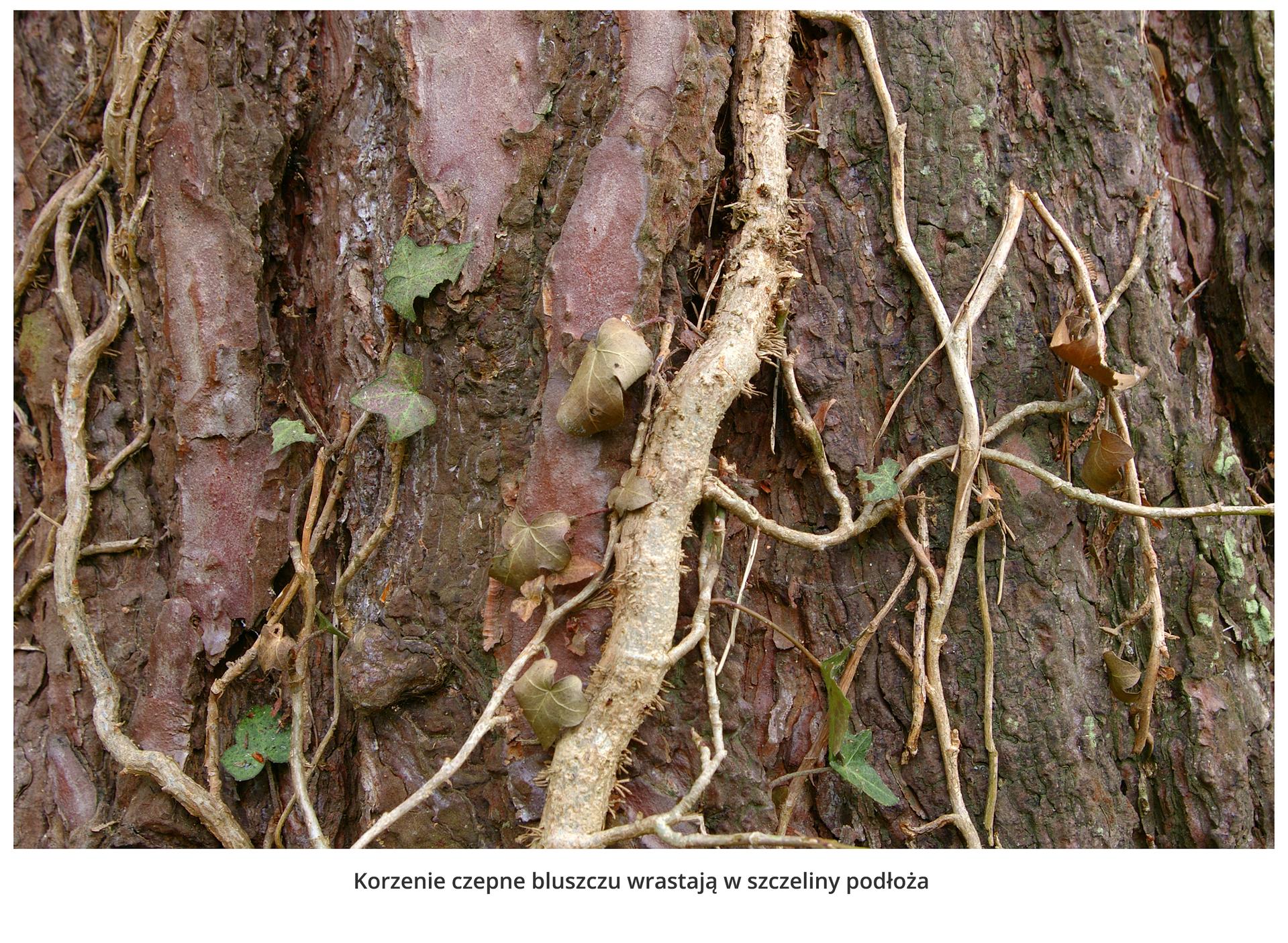 Fotografia przedstawia zbliżenie pędu bluszczu na pniu drzewa. Żeby móc się wspinać, korzenie czepne bluszczu wrastają wszczeliny podłoża.