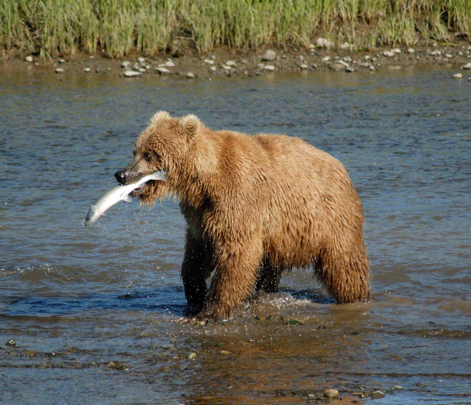 Na kolorowym zdjęciu niedźwiedź brunatny. Stoi wpłytkiej rzece. Zwrócony wlewo. Wpysku trzyma złowioną rybę.