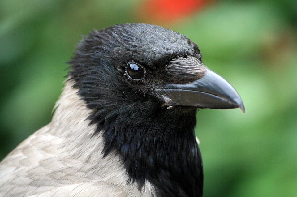 Wrona siwa Wrona siwa Źródło: Małgorzata Skibińska, fotografia barwna, licencja: CC BY 3.0.