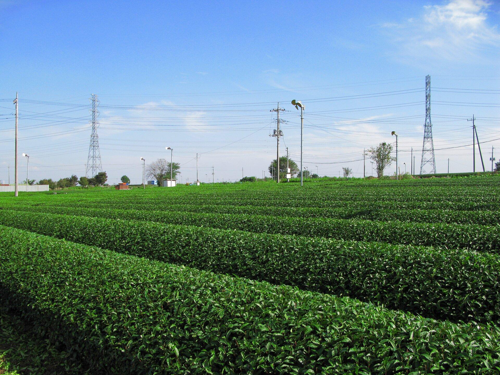 Na zdjęciu równe rzędy krzewów herbacianych.