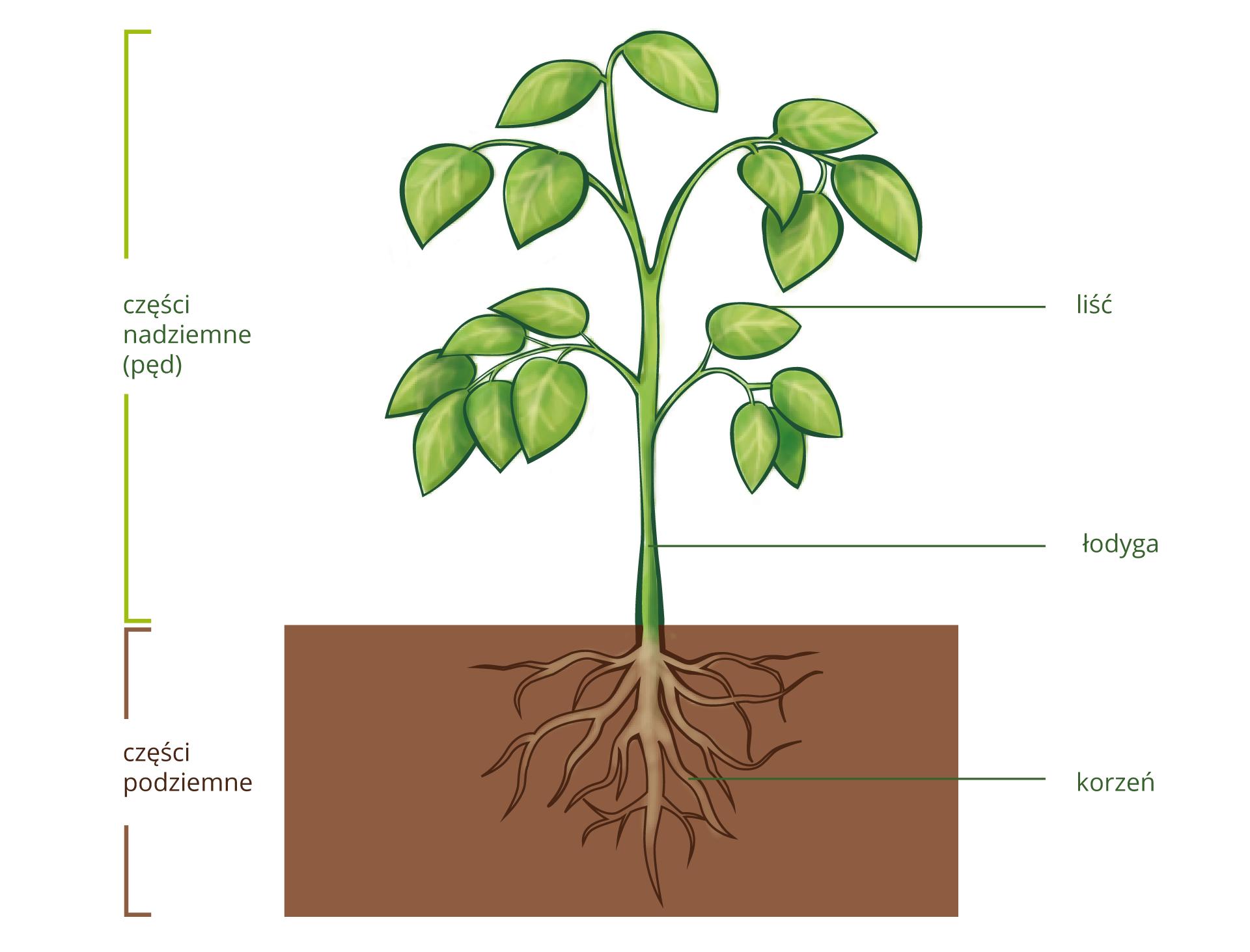 Rysunek przedstawia roślinę wraz zprzekrojem przez glebę wcelu ukazania korzeni. Na rysunku znajdują się wskazania na łodygę, liście ikorzeń.