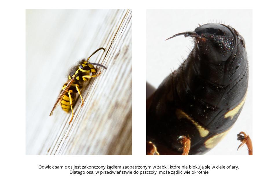 Wgalerii znajdują się pary fotografii, przedstawiające różne owady iich larwy. Fotografia zlewej przedstawia ukośnie zbliżenie czarno – żółtej osy. Siedzi na drewnianej, malowanej, spękanej powierzchni, głowa wprawo do góry. Długie brązowe czułki opuszczone. Unasady czułków duże, owalne, czarne oczy. Tułów owłosiony. Skrzydła błoniaste wąskie, jasnobrązowe, złożone wzdłuż ciała. Fotografia zprawej przedstawia duże zbliżenie czarnego odwłoka osy. Odwłok ukazany od spodu, porośnięty włoskami. Na końcu cienkie żądło, zagięte wlewo.