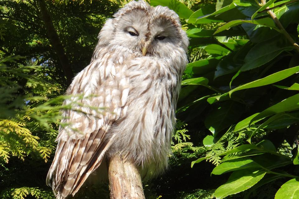 Fotografia przedstawia siedzącego na gałęzi ptaka. Jest to Puszczyk uralski. Ta duża sowa gniazduje m.in. wPolsce. Dorosłe osobniki broniące gniazd zmłodymi są bardzo agresywne.
