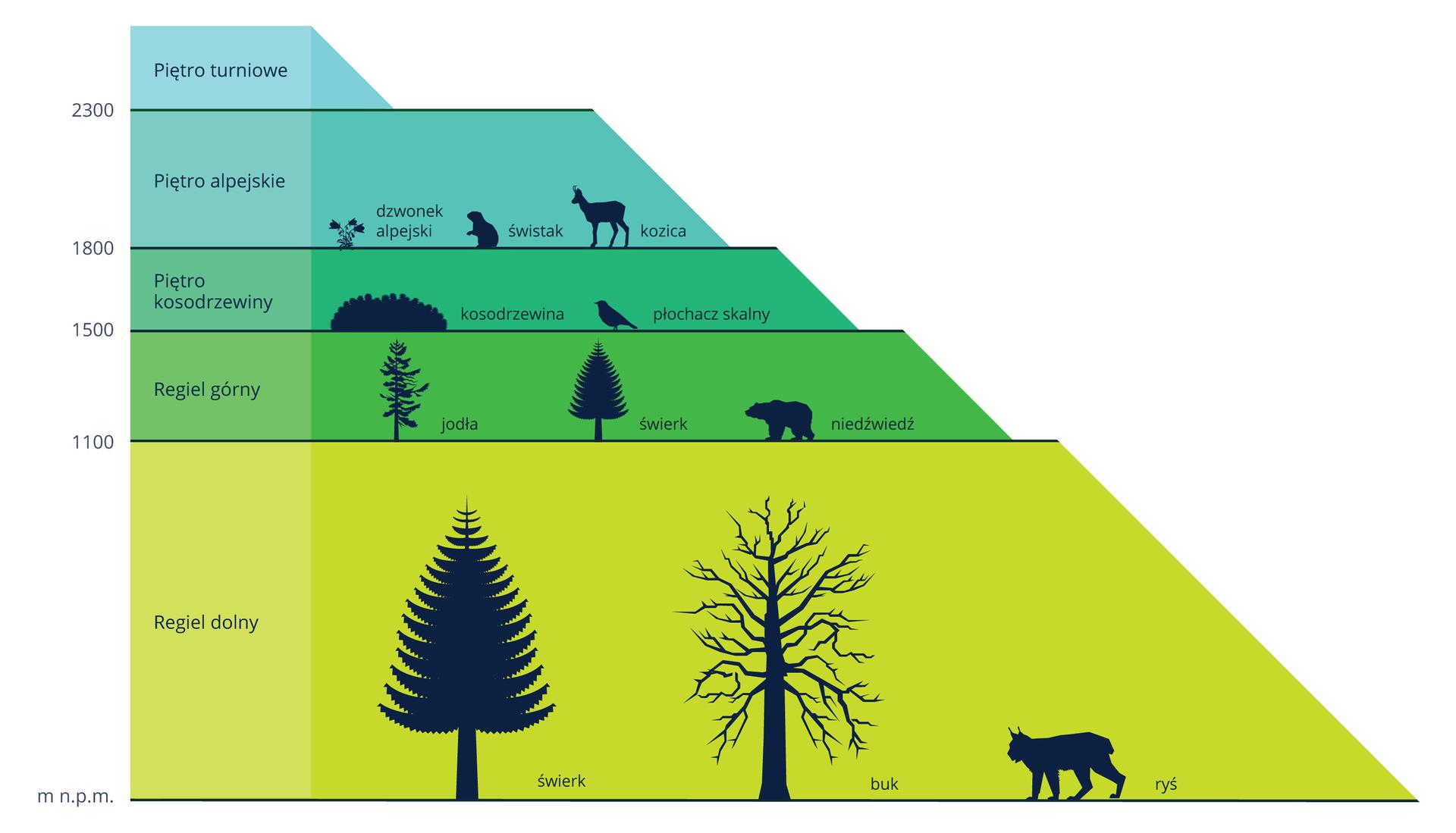 Ilustracja przedstawia wformie piramidy poziome piętra roślinności wTatrach. Każde piętro ma inny kolor. Po lewej podano wysokość inazwę piętra. Po prawej na kolejnych poziomach znajdują się podpisane czarne sylwetki zamieszkujących je organizmów.