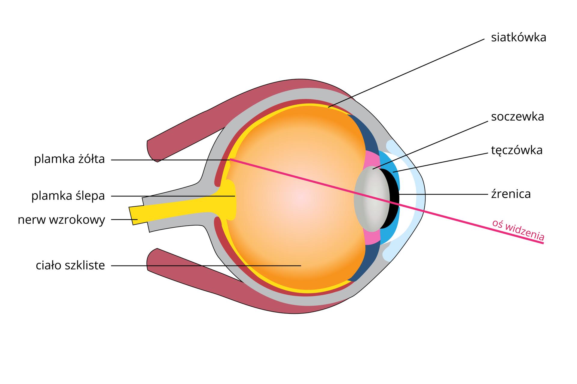 Ilustracja przedstawia schematyczny przekrój przez gałkę oczną. Oko zwrócone wprawo; na rysunku różowa linia oznacza oś widzenia. Zlewej żółty nerw wzrokowy ze zgrubieniem na końcu, plamką ślepą. Żółta jest także siatkówka. Na niej punkt najlepszego widzenia, plamka żółta. Wnętrze gałki ocznej wypełnione pomarańczowym ciałem szklistym. Zprawej szara soczewka za czarnym otworem źrenicy wturkusowej tęczówce.