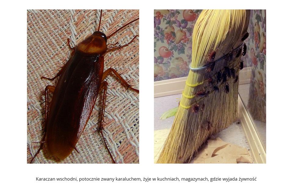 Wgalerii znajdują się pary fotografii, przedstawiające różne owady iich larwy. Fotografia zlewej przedstawia wzbliżeniu brązowego, smukłego karaczana wschodniego na kraciastej tkaninie. Głowa zczułkami wprawo do góry. Tułów jaśniejszy zplamami. Skrzydła lśniące, złożone na odwłoku. Odnóża zkolczastymi wyrostkami. Zprawej wzbliżeniu słomiana miotła wrogu pokoju zkwiecistymi tapetami na ścianach. Na miotle około 20 karaluchów. Pod miotłą kawałek papieru zich odchodami.