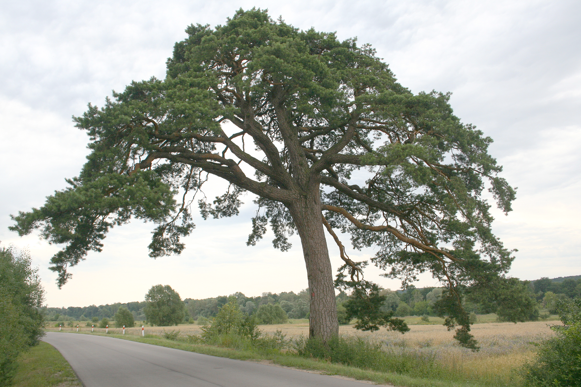 Fotografia przedstawia duże drzewo, rosnące na poboczu przy szosie. Pień jest gruby, lekko wygięty ima jasno brązową korę. Ugóry kilka grubych konarów zzielonymi liśćmi wformie igieł na końcach. Obok krzewy, wdali inne drzewa. Ziemia okryta trawami.