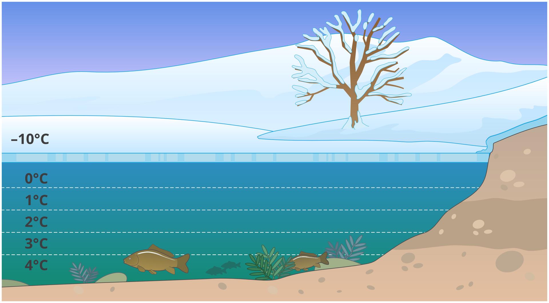 """Ilustracja przedstawia pionowy przekrój zbiornika wody zimą. Pozioma podziałka wskazuje temperaturę. Na powierzchni jest minus dziesięć stopni, pod lodem zero, aprzy dnie zbiornika plus cztery stopnie. Pływają tam dwie ryby. Woda ma największą gęstość wtemperaturze cztery stopnie Celsjusza, dzięki czemu nie zamarza iumożliwia przeżycie zimy organizmom wodnym. Fotografia przedstawia owada nartnika na powierzchni wody. Siły działające pomiędzy cząsteczkami wody tworzą tak zwaną błonę powierzchniową, po której owad może się """"ślizgać""""."""