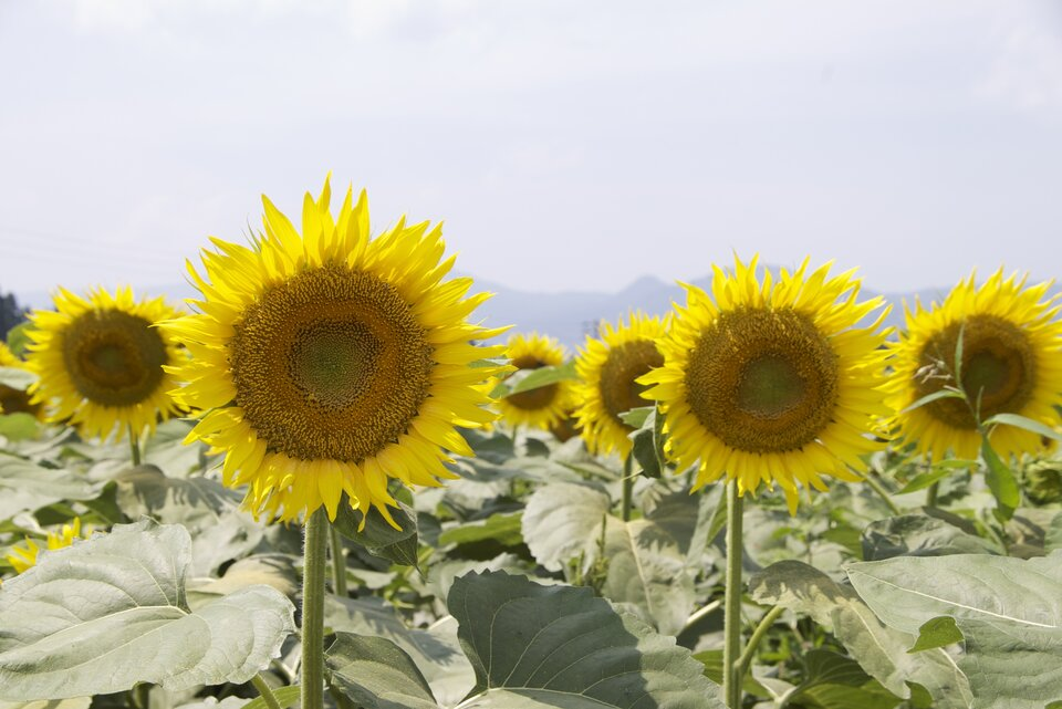 Fotografia przedstawia żółte kwiatostany słoneczników, rosnących na polu. Słoneczniki potrafią kierować swoje kwiatostany wstronę słońca. Ten ruch nazywa się fototropizm.