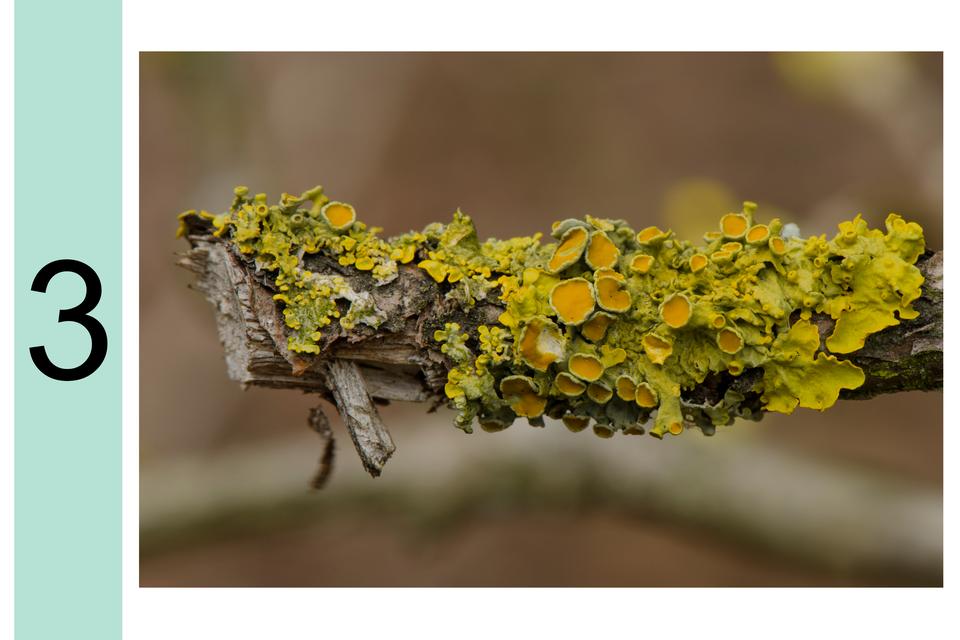 Fotografia prezentuje stopień 3 wskali porostowej. Na korze drzewa listkowaty zielono-żółty porost.