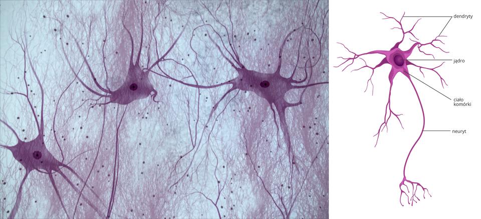 Pierwsza ilustracja przedstawia obraz tkanki nerwowej, druga to schemat komórki zzaznaczonymi dendrytami, jądrem, ciałem komórki ineurytem.