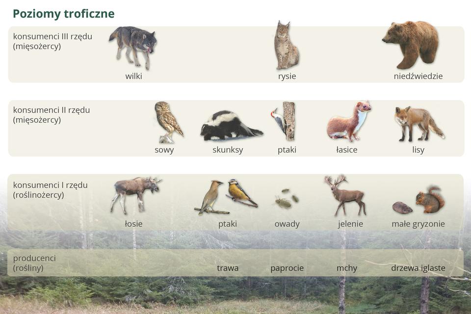 Ilustracja przedstawia poziomy troficzne tajgi wpostaci czterech pasów. Udołu na tle lasu napisy, oznaczające producentów. Wyżej na kolejnych poziomach podpisane wizerunki zwierząt.