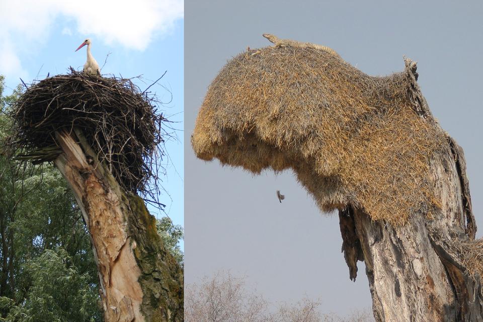 Fotografia przedstawia dwa różne gniazda, zlewej strony gniazdo bociana na pniu wysokiego drzewa. Obok zwisające zdrzewa duże gniazdo ptaka – tkacza towarzyskiego