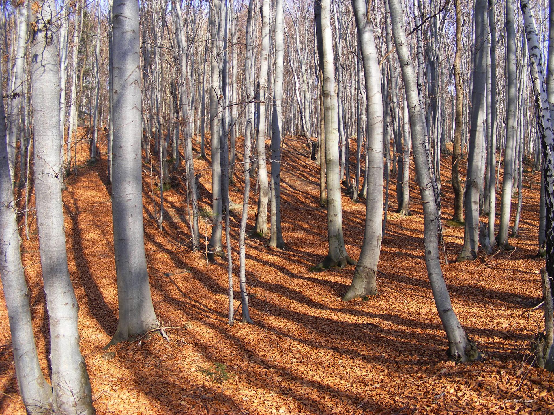 Fotografia ukazująca jesienny las bukowy. Widoczne liczne srebrzyste pnie buków, na dnie lasu opadłe liście.