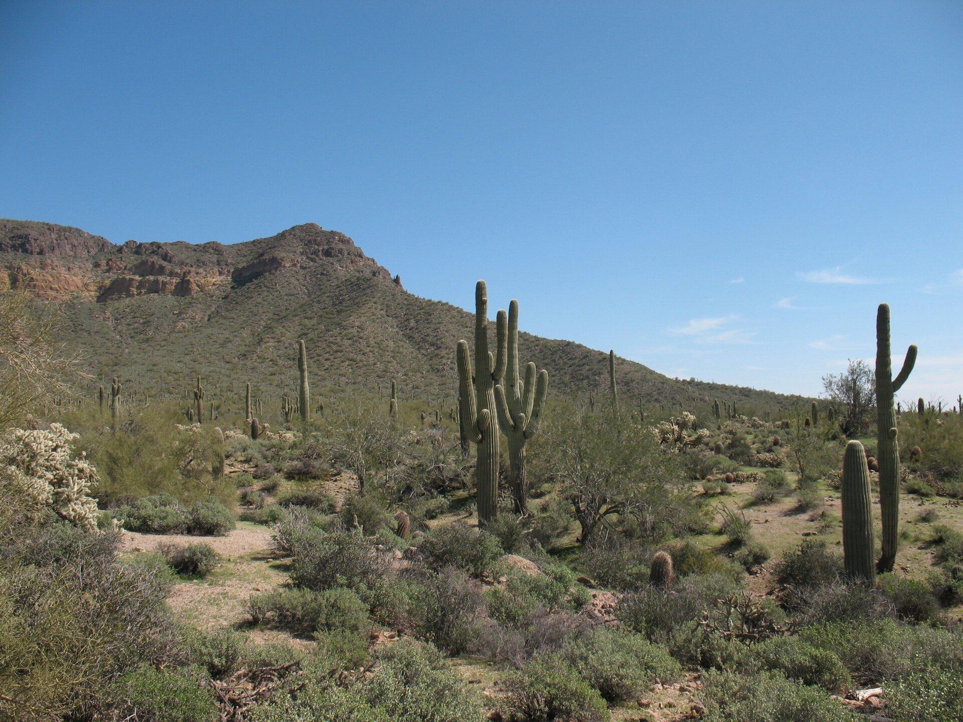 Fotografia przedstawia teren pokryty brązową ziemią, pokrytą zrzadka kępami traw. Wdużych odległościach od siebie rosną wysokie kaktusy.