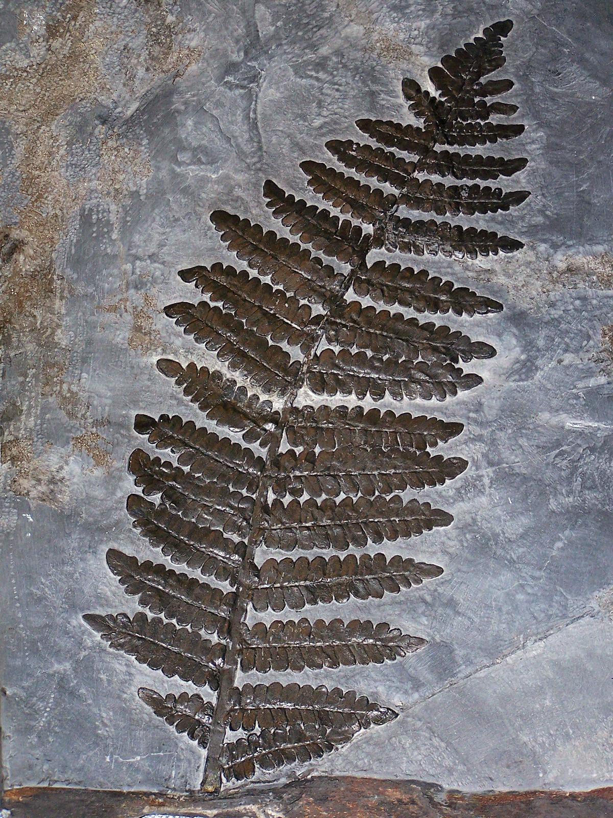 Fotografia przedstawia płaski kawałek szarawego węgla zodciskiem liścia paproci. Odcisk jest ciemny iwyraźny.